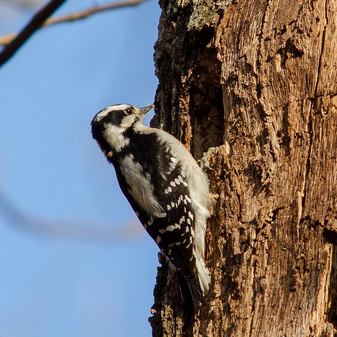 Downy Woodpecker Ohio