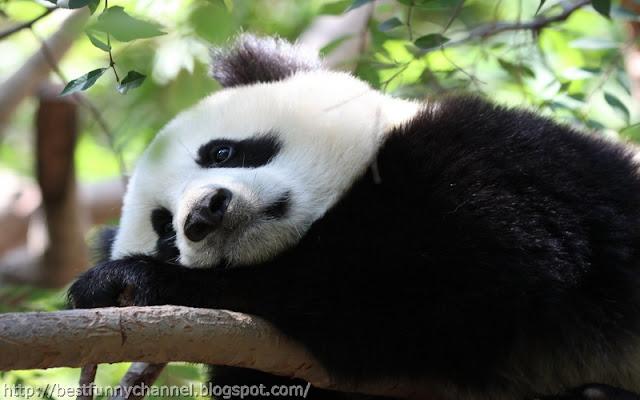 panda bears pictures 17