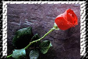 /mawar_merah10802