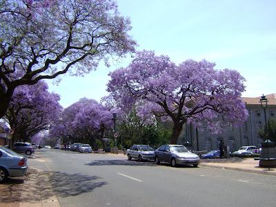 Kwitnące drzewa jacaranda w Pretorii