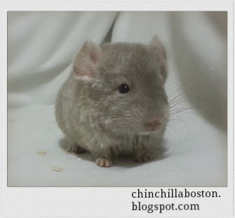 Fried Dough is a hetero-beige, male chinchilla. He was ...