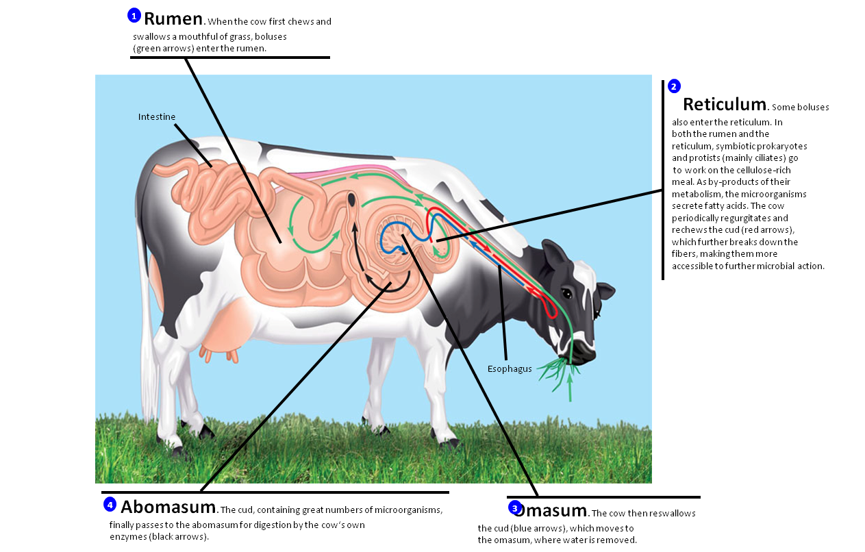 ruminant digestive An idea of the tremendous size of the ruminant digestive system is given in this example showing capacities of the four principles of ruminant digestion.