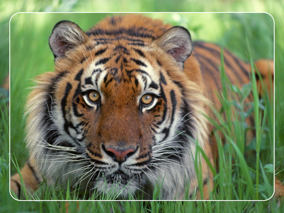 essay conservation indian tigers A regularly updated comprehensive list of tiger conservation papers from respected genetic structure and the conservation implications for indian tigers.