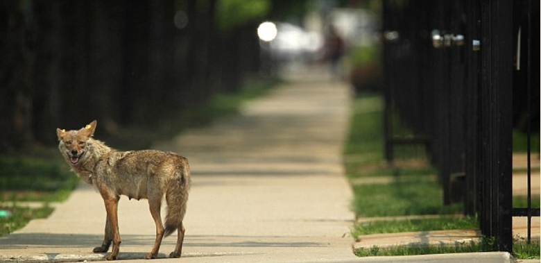 Meet the coyote packs roaming downtown Chicago (VIDEO)