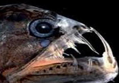 ikan drakula mekong