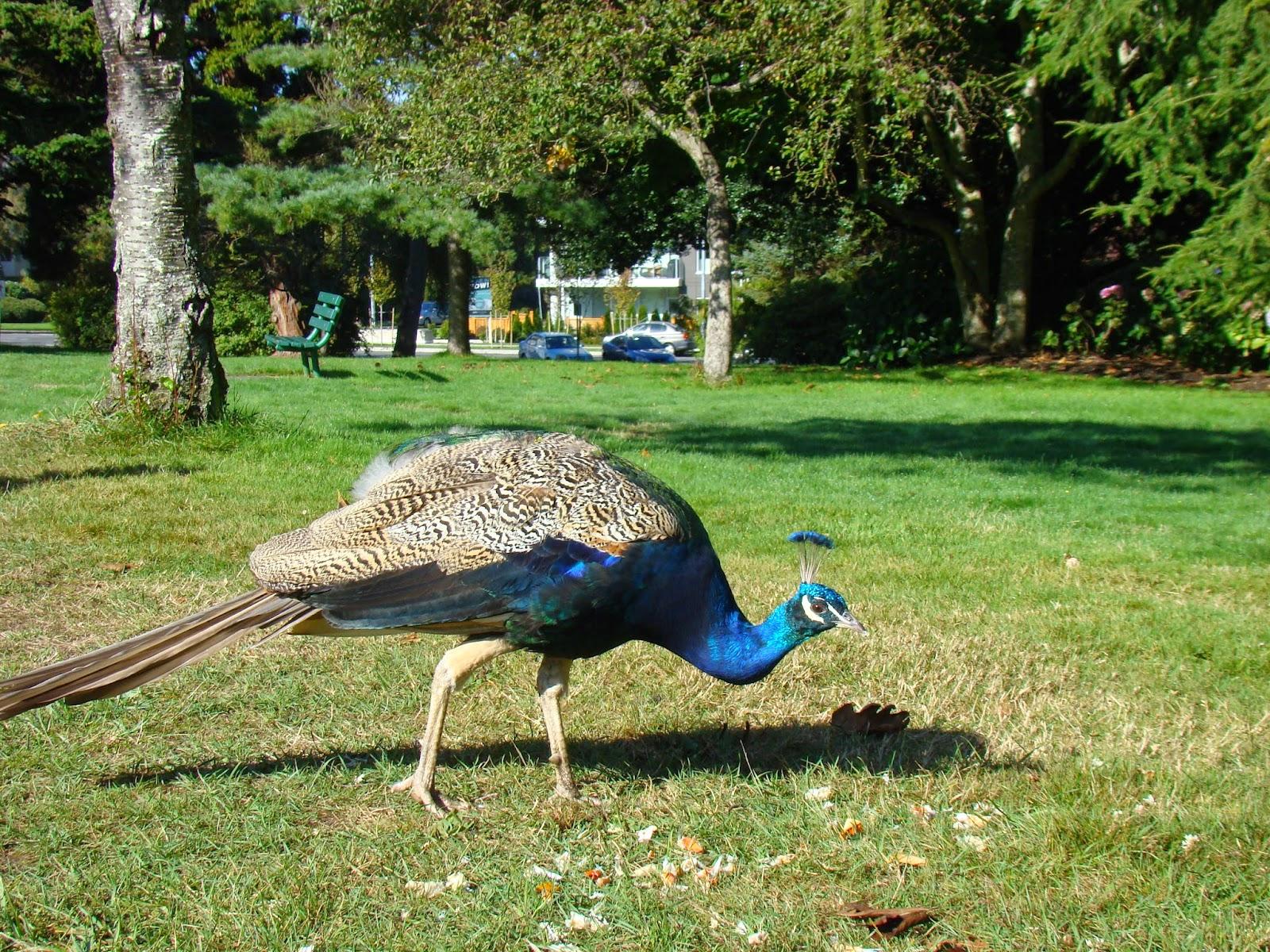 Павлин в парке Beacon Hill