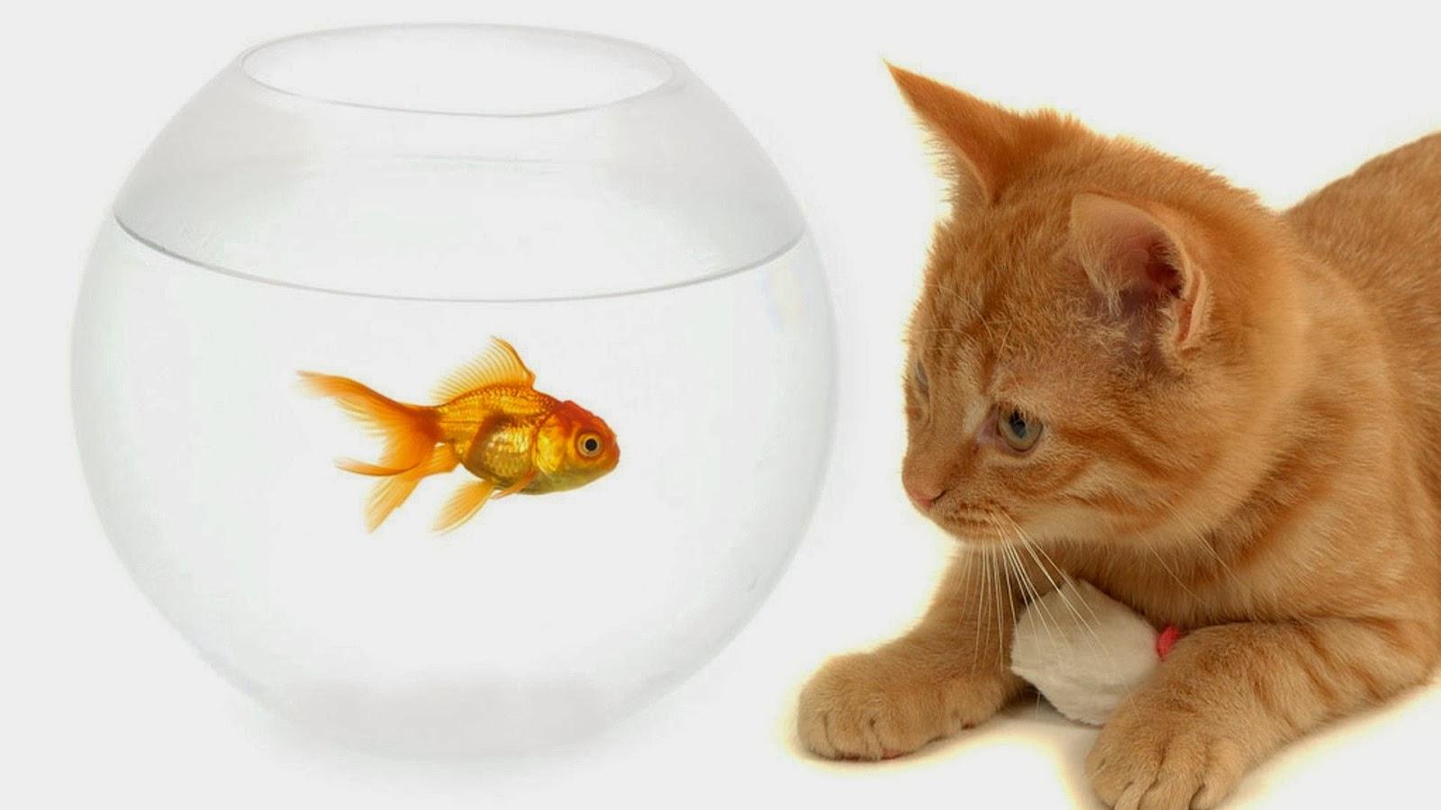 Beautiful gold fish cat 4u hd wallpaper all 4u wallpaper for Fish cat 4
