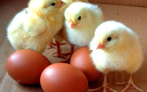 Chroniques d 39 une poule et son poussin novembre 2012 - Image d une poule ...