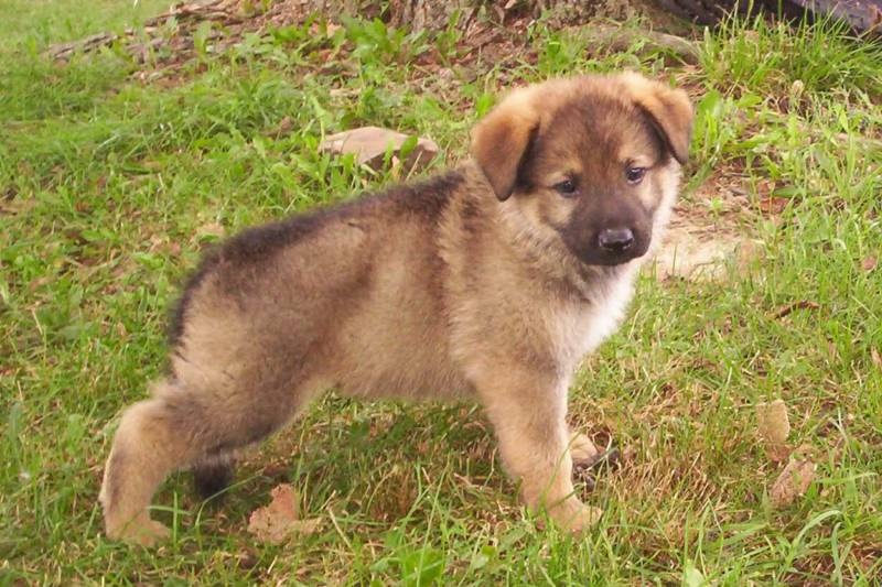 The Gunbil German shepherd puppy is well socialized with positive ...