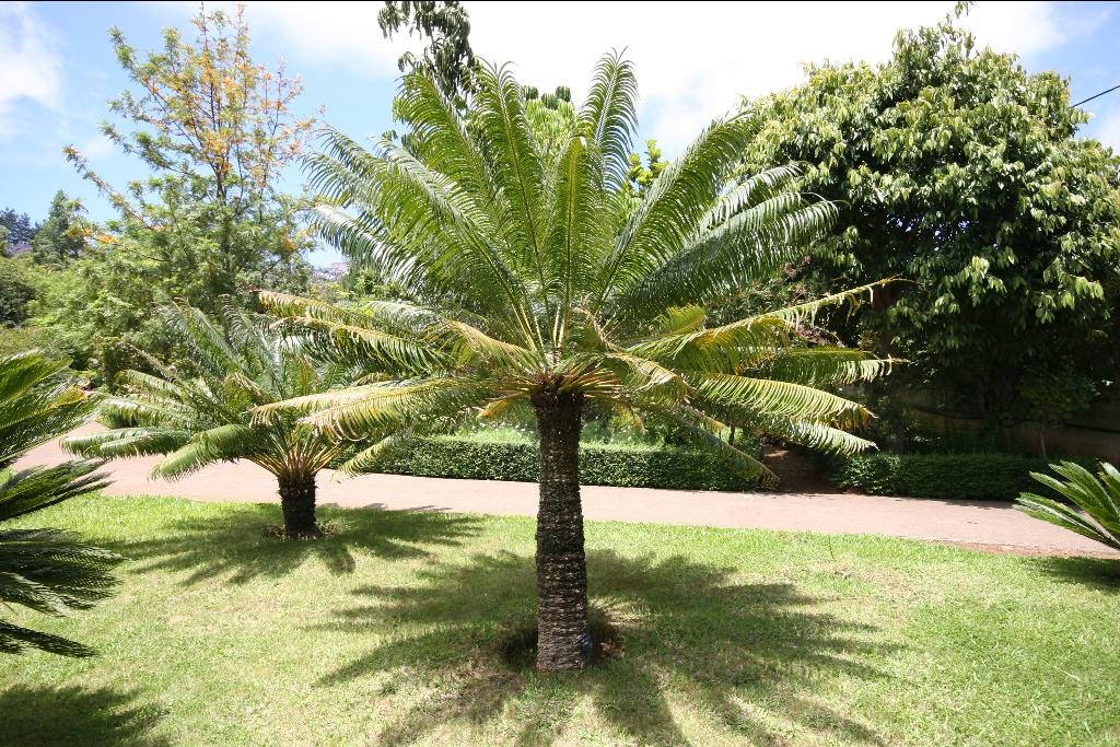 Palmier cycas flore de l le de la r union for Entretien jardin reunion