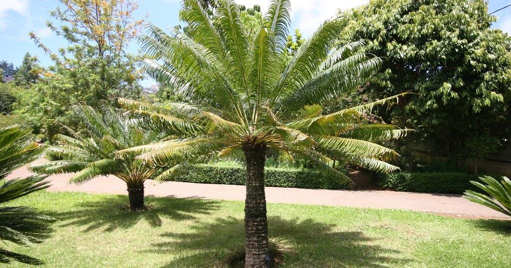 Palmier cycas flore de l le de la r union for Entretien jardin ile de la reunion
