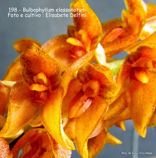 Bulbophyllum elassonotum do blogdabeteorquideas
