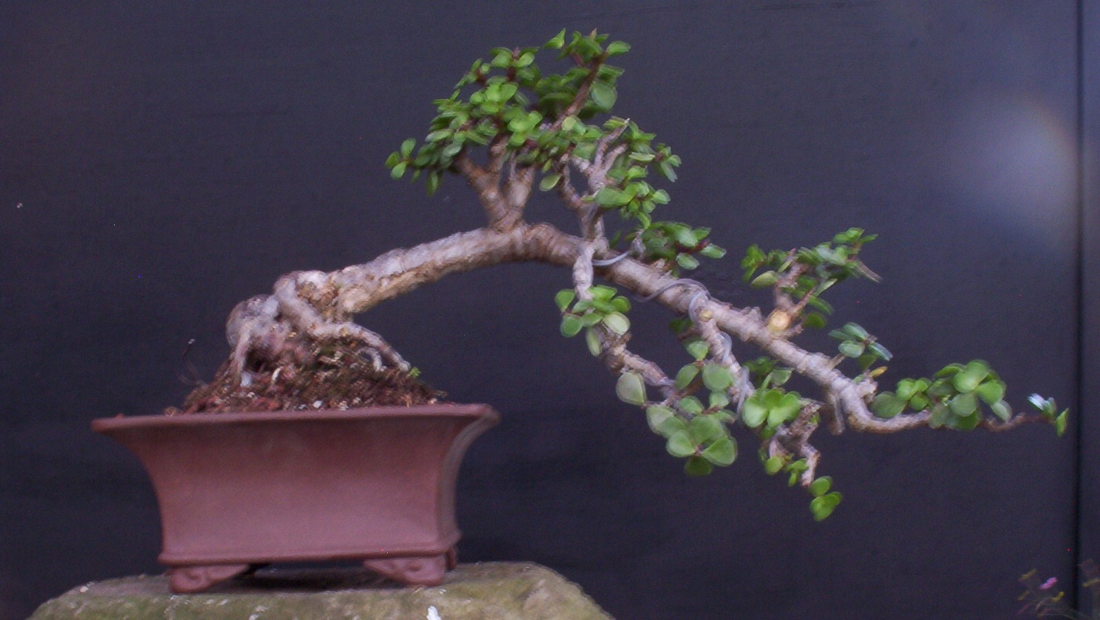 Bonsai Beginnings Portulacaria Afra Dwarf Jade