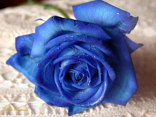 deep blue rose on lace cloth