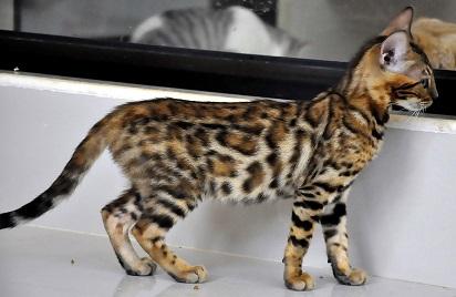 Harga Kucing Hutan Dan Cara Memelihara Kucing Hutan