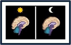 cerebro noche dia