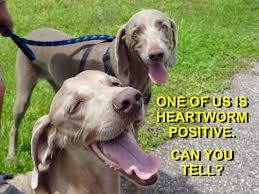 Image Result For Can Heartworm Be