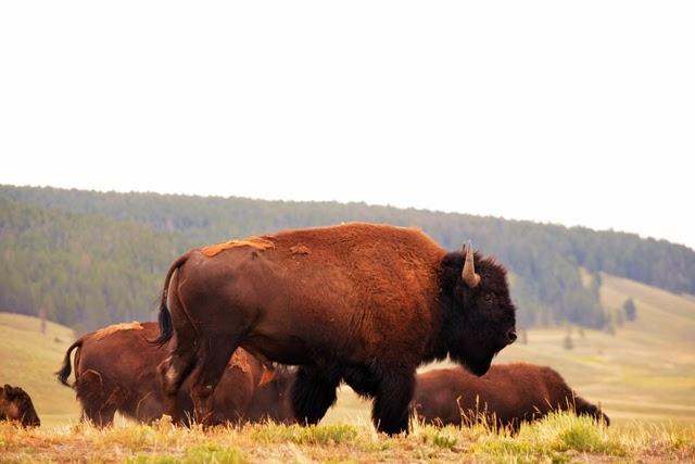 Bison 4679