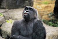 flash_fiction_aging_gorilla