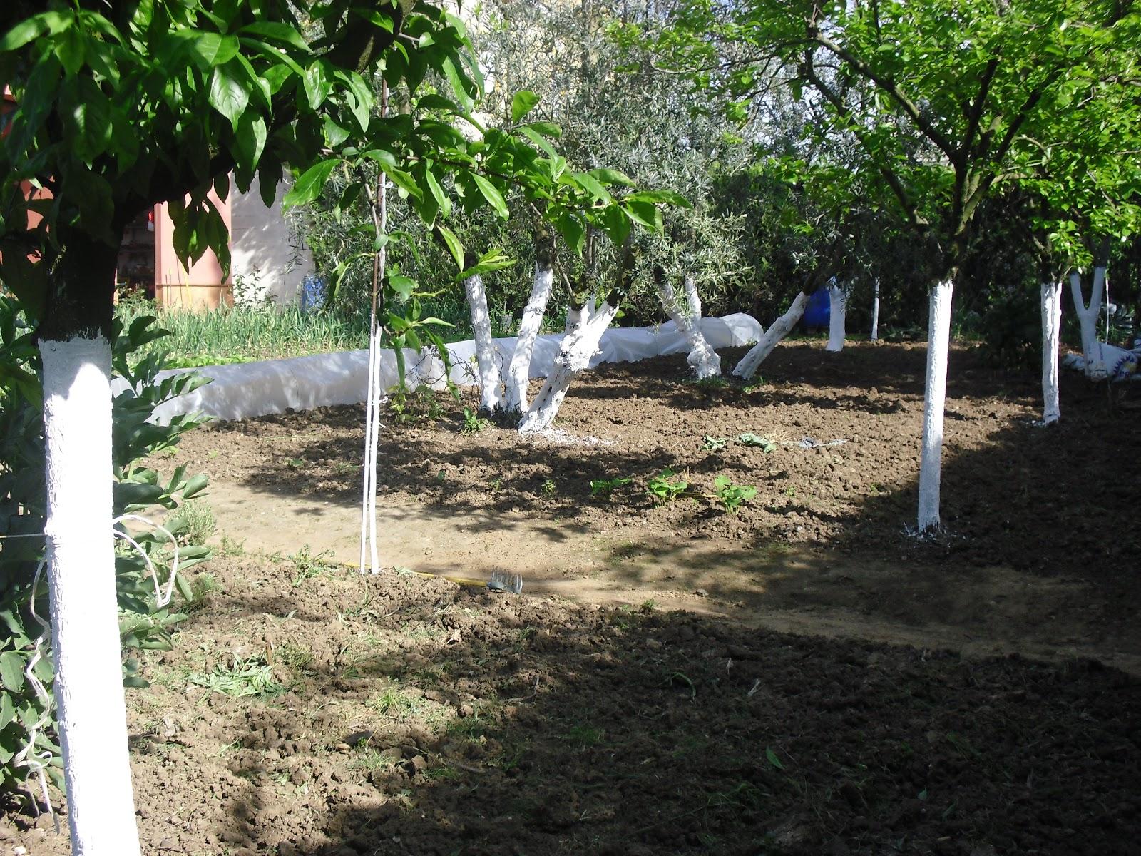 El huerto del lopez encalado de los troncos de los - Como se podan los arboles frutales ...