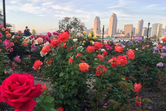 san diego skyline roses