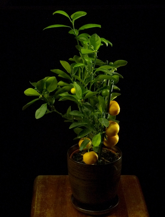 citrus mandarin tree
