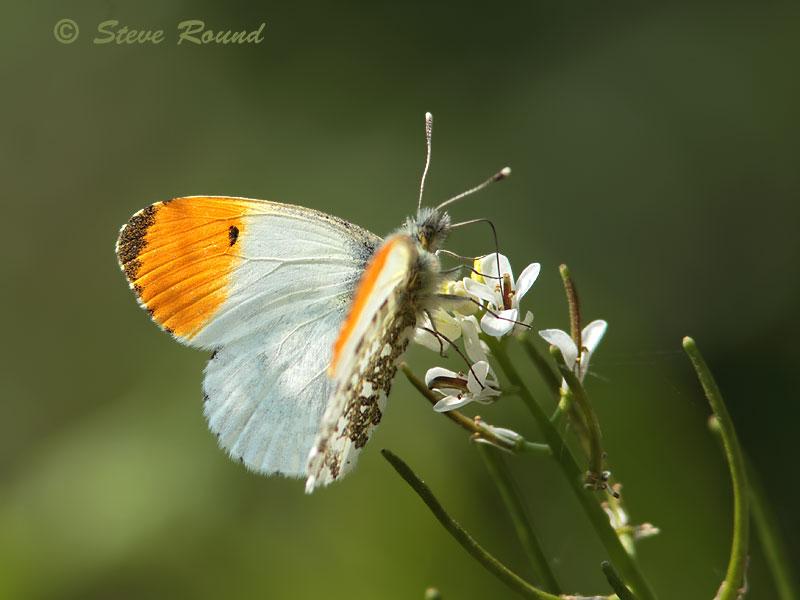 orange tip, butterfly, butterflies, nature, wildlife