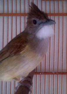 Tips Membedakan Burung Cucak Jenggot Jantan dan Betina