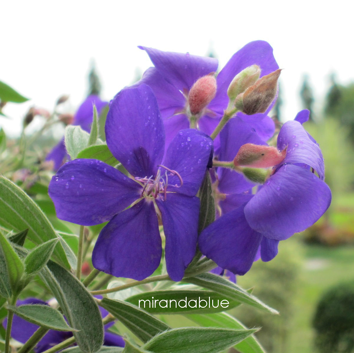 Live in the Moment Athens Blue Princess Flower