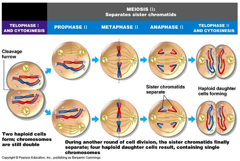 Meiosis 2 Detailed Diagram Diy Wiring Diagrams