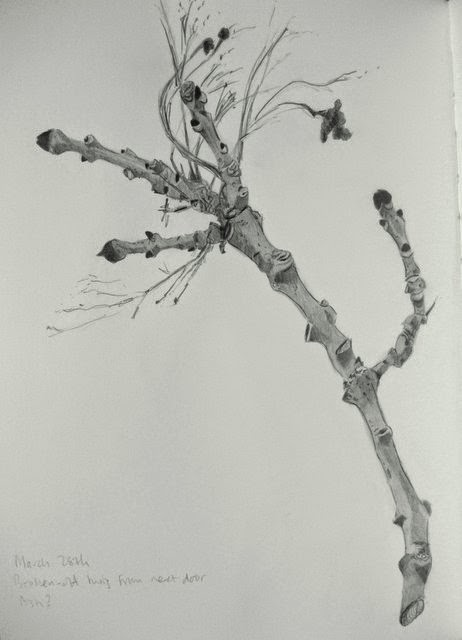 Pencil drawing of ash twig