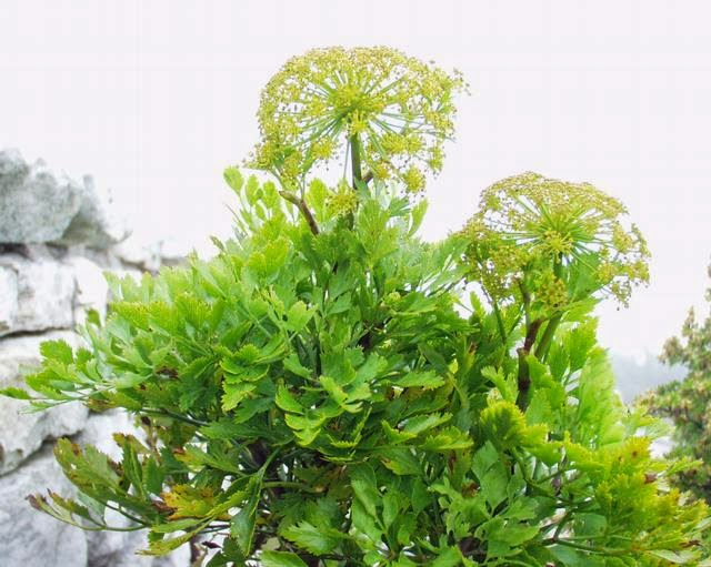 Plantes aromatiques - Plante a la gomme ...