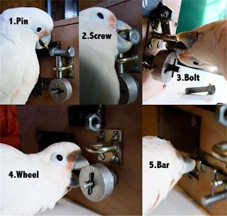 Ο παπαγάλος «διαρρήκτης» (Βίντεο)