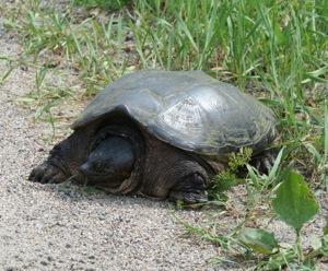 Turtle season