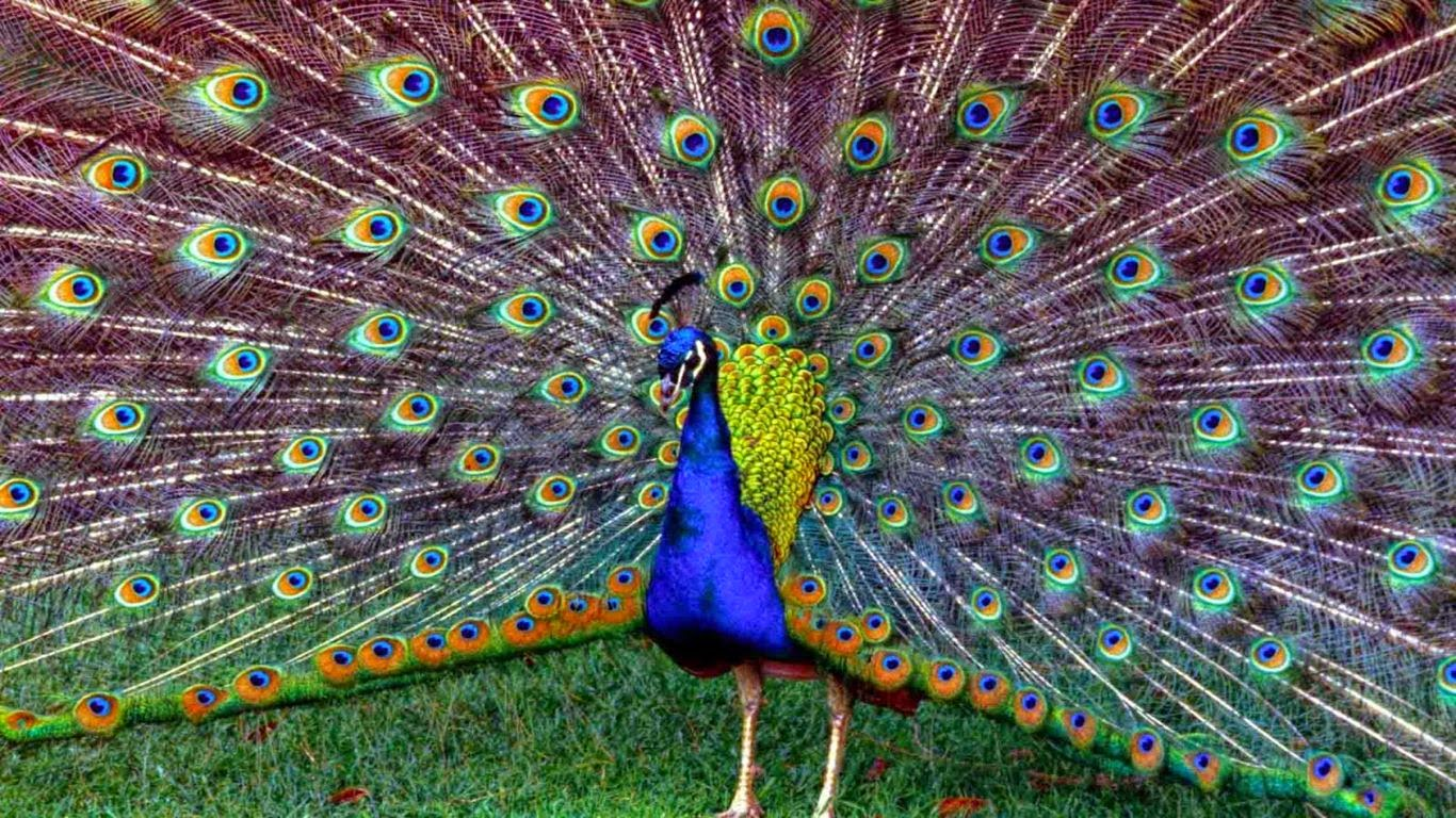 free wallpapers download for desktop: beautiful peacock wallpaper