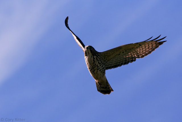 Broad-winged Hawk Underside