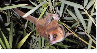 Foto Lemur Tikus Microcebus marohita