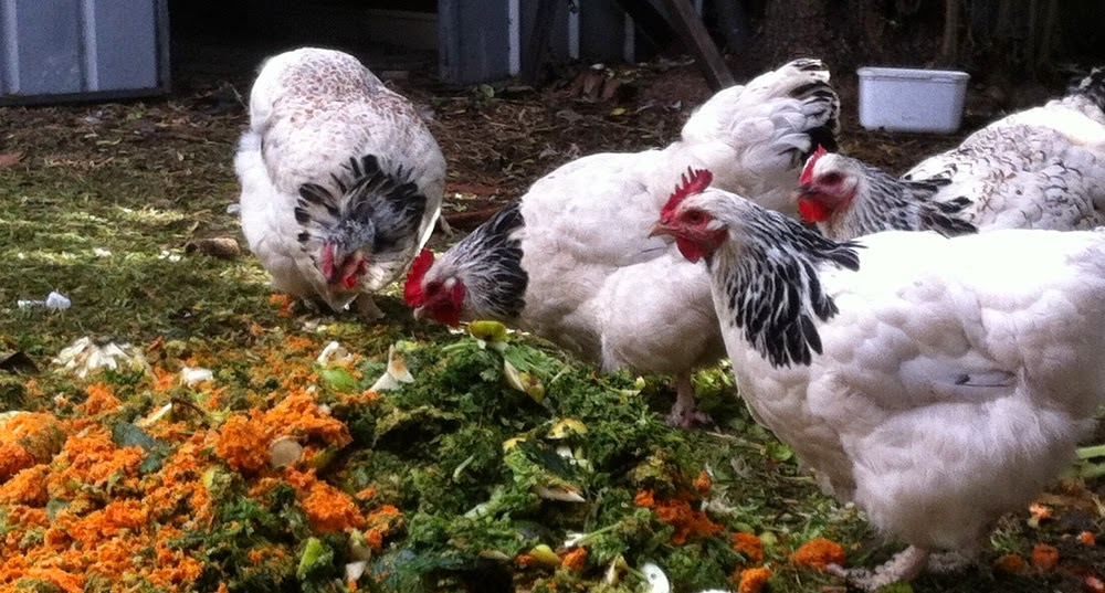 Irma's happy chooks eating food scraps.