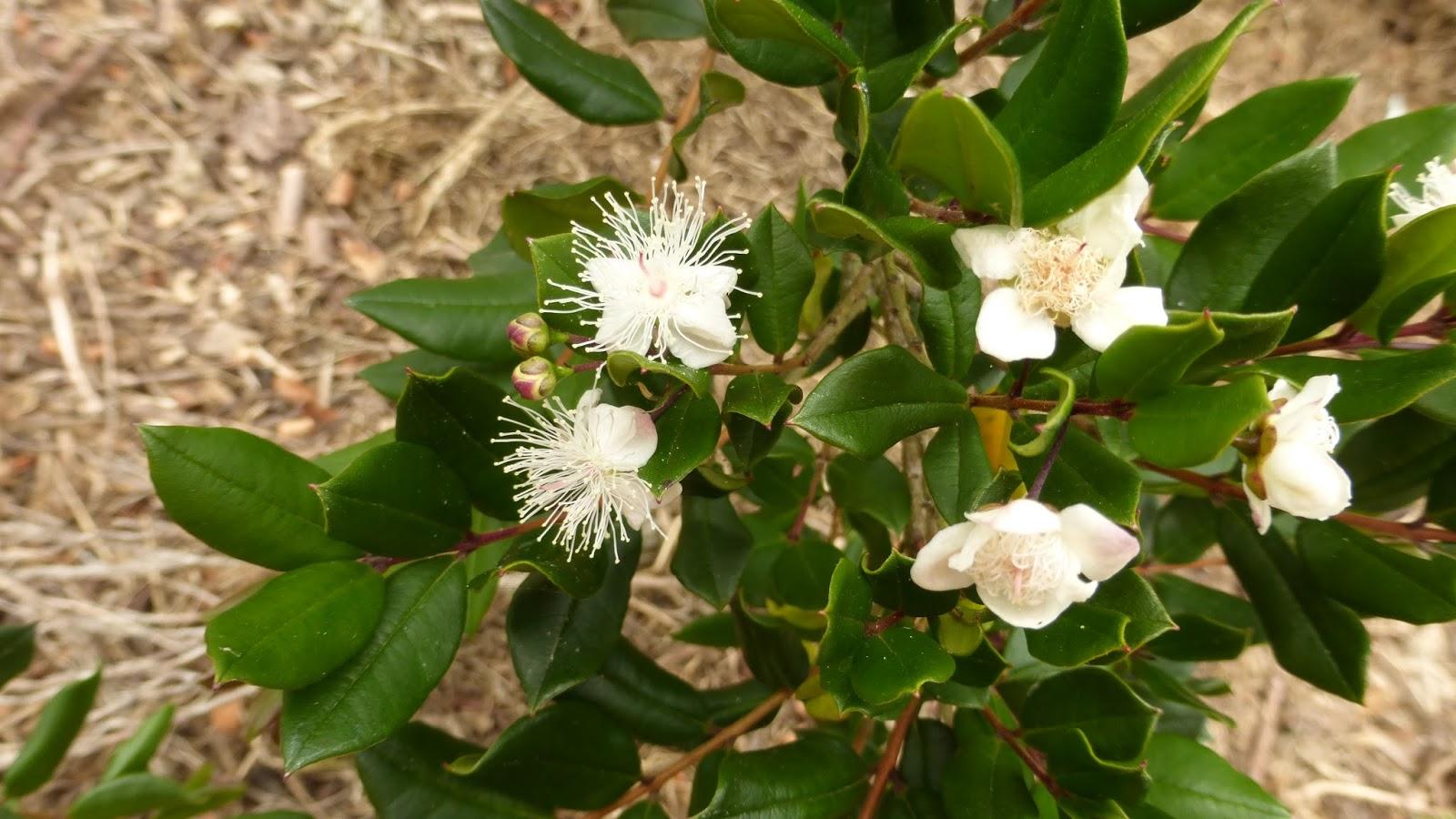 Mon Jardin Entre Terre Et Mer Myrtus Apiculata Ou Luma Apiculata