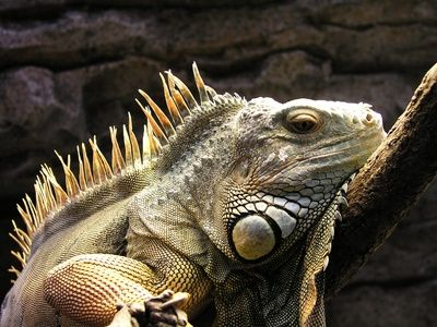 Most Popular Best Pets In The World - Iguanas