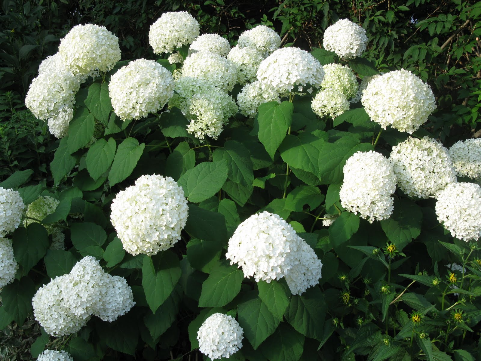 white swan homes and gardens annabelle hydrangea has some