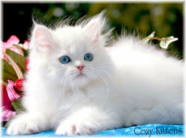Tulis N Iz R Jenis Jenis Warna Kucing Persia