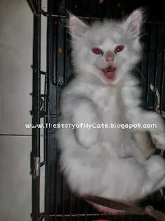 jual kucing warna putih daerah surabaya sidoarjo