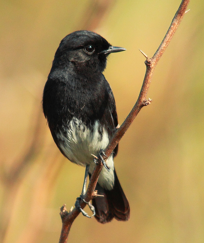 karakteristik burung decu   kicau cicicuit