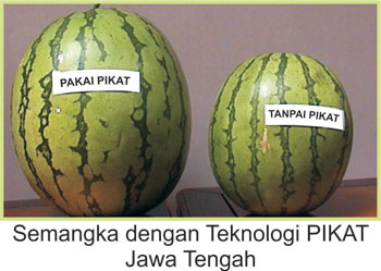 Buah semangka yang telah menggunakan produk pupuk organik NASA (POC NASA, HORMONIK, SUPERNASA, PESTONA, GREENSTAR, BVR, GLIO)