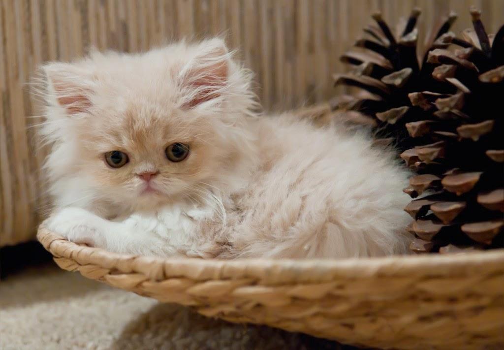 Panduan Tips Mengadopsi Kucing Persia Anggora