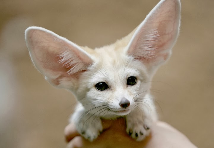 planet earth fennec fox is the most cute animal in the world