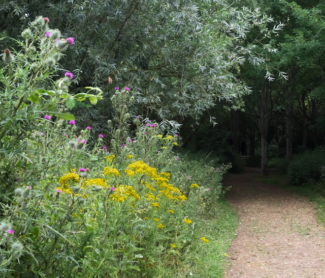 Ragwort and thistles besides path leading into woods.