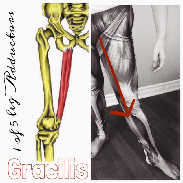 The Hip Joint: Gracilis: 1 of 5 Leg Adductor Muscles