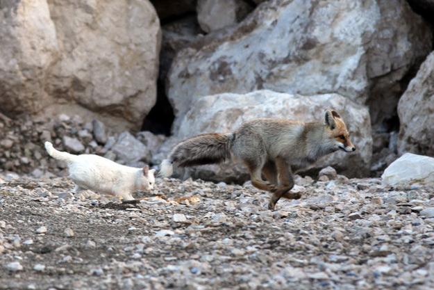 [Imagen: gato-y-zorro-amigos-turquia.jpg]